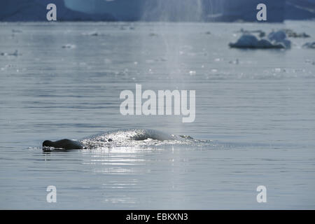 humpback whale (Megaptera novaeangliae), blowing, Greenland, Ilulissat, Disko Bay - Stock Photo