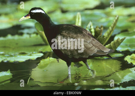 Bronze-winged jacana (Metopidius indicus), wading on the leaves of water-lilies - Stock Photo
