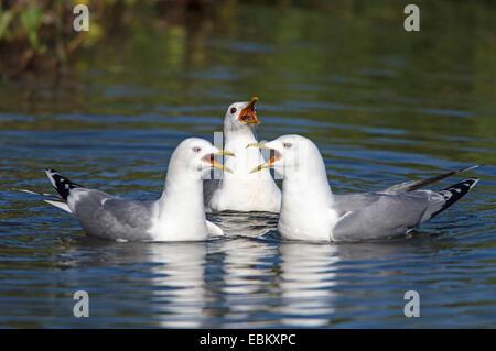 mew gull (Larus canus), three calling adult birds, Norway, Troms, Tromsoe - Stock Photo