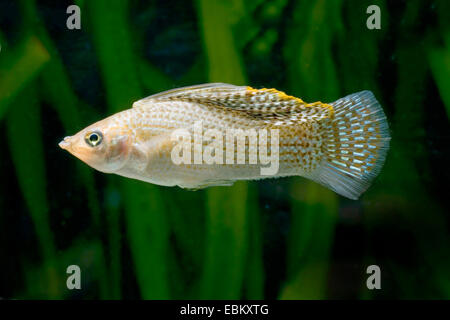 Giant sailfin molly, Sail-fin molly, Red sailfin molly, Yucatan Molly (Poecilia velifera), swimming - Stock Photo