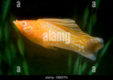 Giant sailfin molly, Sail-fin molly, Red sailfin molly, Yucatan Molly (Poecilia velifera), breed gold brindled - Stock Photo