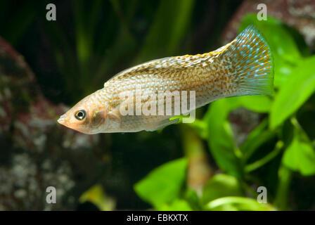 Giant sailfin molly, Sail-fin molly, Red sailfin molly, Yucatan Molly (Poecilia velifera), swimming - Stock Photo