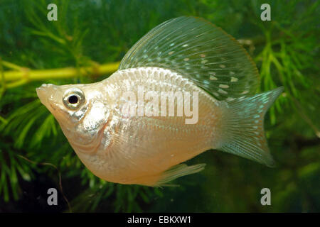 Balloon molly, Giant sailfin molly, Sail-fin molly, Red sailfin molly, Yucatan Molly (Poecilia velifera), breeding - Stock Photo