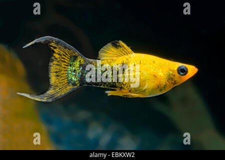 Gold Dust Molly, Mexican Molly, Marbled molly, Liberty Molly (Poecilia sphenops, Mollienesia sphenops), breed Lyratail - Stock Photo
