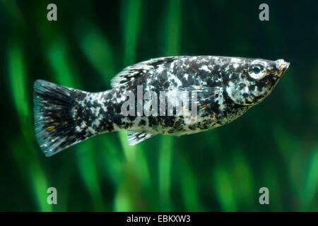 Giant sailfin molly, Sail-fin molly, Red sailfin molly, Yucatan Molly (Poecilia velifera), breed Dalamtina - Stock Photo