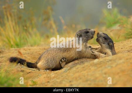 alpine marmot (Marmota marmota), playing young animals , Austria, Hohe Tauern National Park - Stock Photo