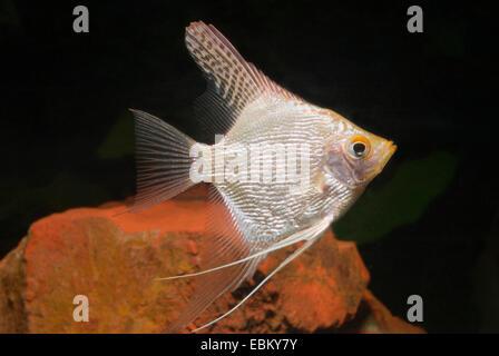 freshwater angelfish, longfin angel fish, black angelfish, scalare (Pterophyllum scalare), swimming - Stock Photo