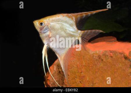 freshwater angelfish, longfin angel fish, black angelfish, scalare (Pterophyllum scalare), breed gold - Stock Photo