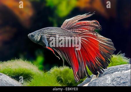 Siamese fighting fish, Siamese fighter (Betta splendens), male - Stock Photo