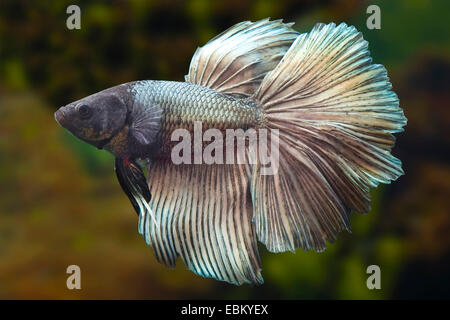 Siamese fighting fish, Siamese fighter (Betta splendens), breed Halfmoon copper - Stock Photo