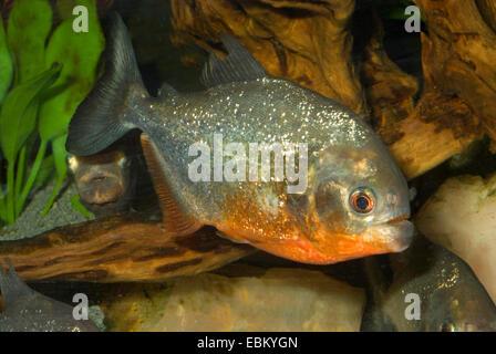 convex-headed piranha, Natterer's piranha, red piranha, red-bellied piranha (Serrasalmus nattereri, Pygocentrus - Stock Photo