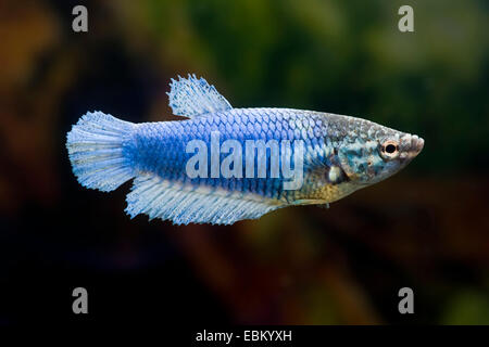 Siamese fighting fish, Siamese fighter (Betta splendens), female of the breed Halfmoon - Stock Photo