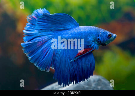 Siamese fighting fish, Siamese fighter (Betta splendens), breed Halfmoon blue - Stock Photo