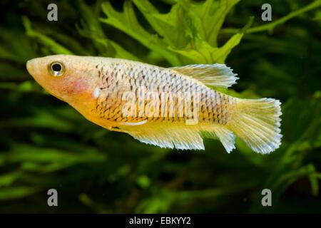 Siamese fighting fish, Siamese fighter (Betta splendens), breed yellow - Stock Photo