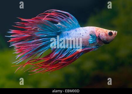 Siamese fighting fish, Siamese fighter (Betta splendens), breed Crown Tail Multicolor - Stock Photo