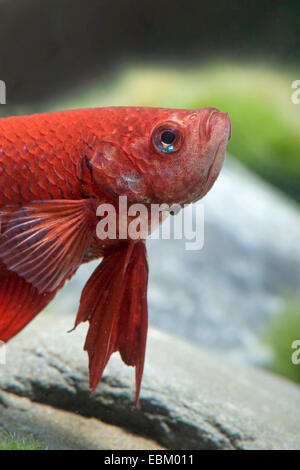Siamese fighting fish, Siamese fighter (Betta splendens), breed Longtail red - Stock Photo