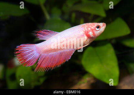 Siamese fighting fish, Siamese fighter (Betta splendens), breed - Stock Photo