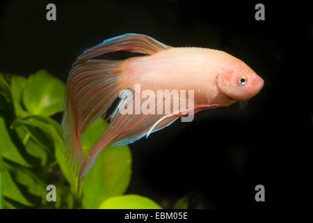 Siamese fighting fish, Siamese fighter (Betta splendens), breed - Stock Photo