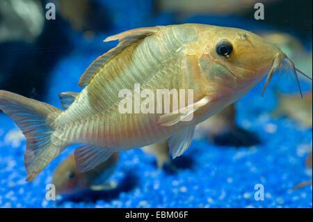Hognosed catfish (Brochis multiradiatus), in aquarium - Stock Photo