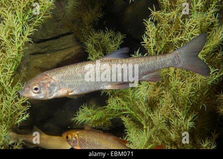 nase (Chondrostoma nasus), swimming - Stock Photo