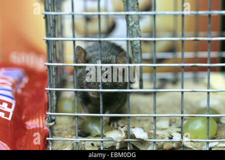 house mouse (Mus musculus), sitting in a live catch trap - Stock Photo