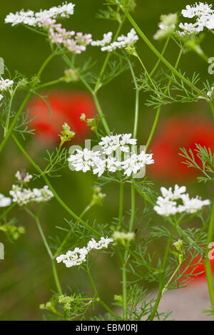 coriander (Coriandrum sativum), blooming - Stock Photo