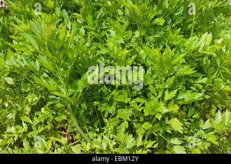 garden lovage, bladder seed (Levisticum officinale), lovage - Stock Photo
