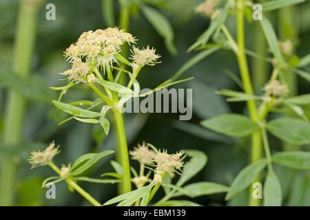 garden lovage, bladder seed (Levisticum officinale), blossom - Stock Photo