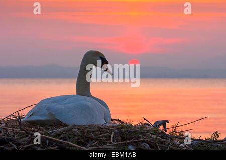 mute swan (Cygnus olor), breeding mute swan at mood lighting, Switzerland, Sankt Gallen - Stock Photo
