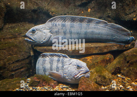 Atlantic wolffish, wolffish, cat fish, catfish (Anarhichas lupus), two wolffishes - Stock Photo