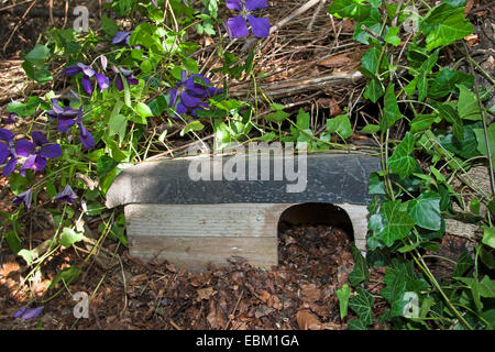 Western hedgehog, European hedgehog (Erinaceus europaeus), shelter for hedgehogs in a natural garden, Germany - Stock Photo