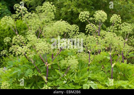 Archangel, Garden Angelica, Holy Ghost, Wild Celery, Norwegian angelica (Angelica archangelica), blooming, Germany - Stock Photo