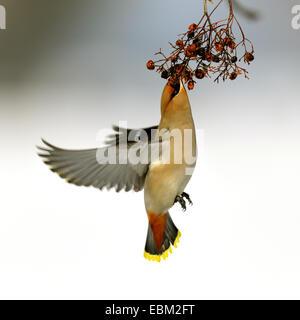Bohemian waxwing (Bombycilla garrulus), eating in flight rowanberries on a twig, Germany, Baden-Wuerttemberg - Stock Photo