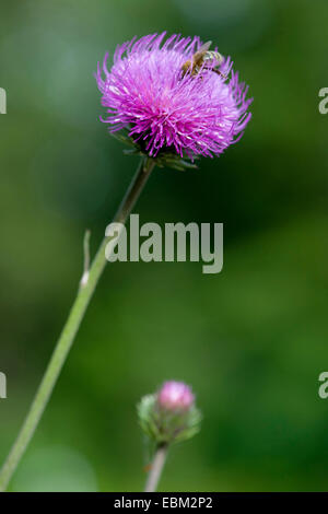 Alpine thistle (Carduus defloratus), flowerhead with bee, Germany - Stock Photo