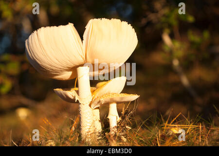 Mushroom or fungi.Parasol Mushroom on forest floor on the Cape Cod peninsula, USA. - Stock Photo