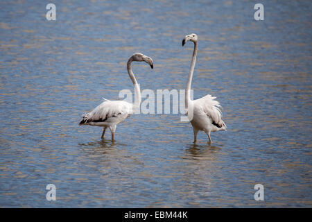 couple of greater flamingos - Stock Photo