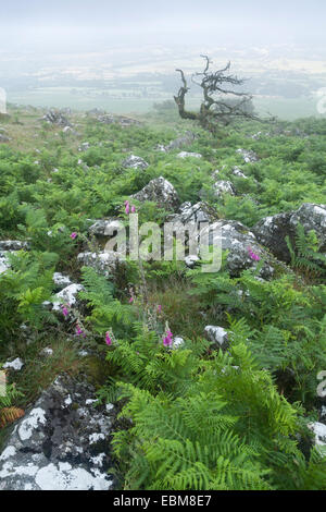 Foxgloves grow through the bracken on dartmoor while a dead common hawthorn, Crataegus monogyna, breaks through - Stock Photo