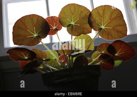 Sun shining through the leaves of a begonia house plant. - Stock Photo