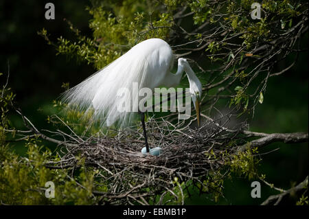 Great Egret scratching face with claw while standing on one leg over pale blue eggs in stick nest, Florida, USA. - Stock Photo