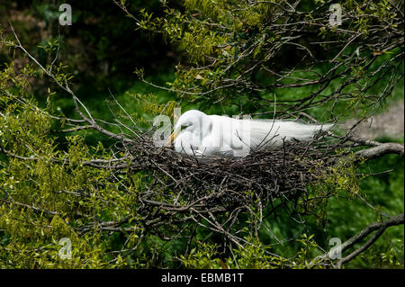 Great Egret scientific name Casmerodius albus, in breeding plumage sitting on stick nest, Florida, USA. - Stock Photo