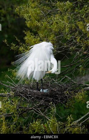 Great Egret in breeding plumage standing and preening with head and neck bent down as if looking at pale blue eggs - Stock Photo
