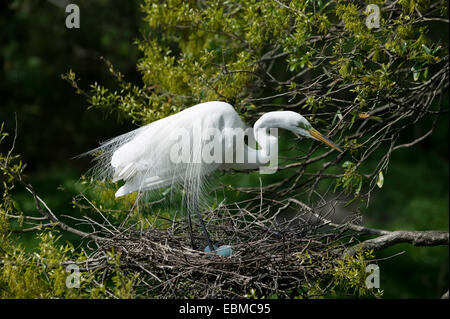 Great Egret in breeding plumage standing over pale blue eggs in stick nest, Florida, USA. - Stock Photo