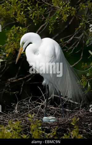 Close-up of Great Egret in breeding plumage standing over pale blue eggs in stick nest, Florida, USA. - Stock Photo
