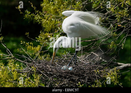 Close-up of Great Egret in breeding plumage leaning over pale blue eggs in stick nest, Florida, USA. - Stock Photo