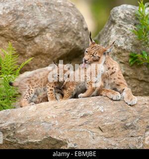 Eurasian Lynx (Lynx lynx), mother and cubs lying on a rock, captive, Bavarian Forest National Park, Bavaria, Germany - Stock Photo