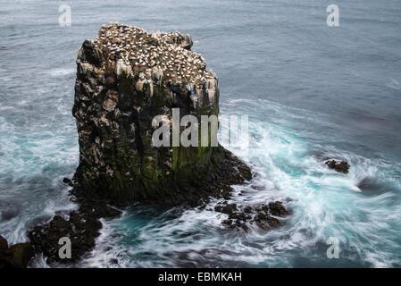 Northern Gannet (Morus bassanus), colony, Skoruvíkurbjarg bird cliff, Þistilfjörður fjord, Langanes Peninsula - Stock Photo