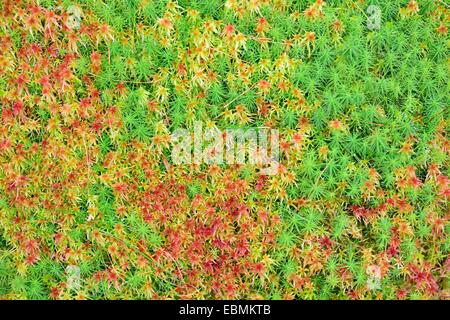 Peat moss (Sphagnum sp.) and Common haircap moss (Polytrichum commune), Tyrol, Austria - Stock Photo