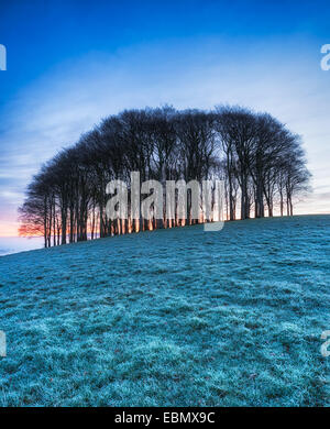Stand of Beech trees on top of a hill on a frosty winter morning - Stock Photo