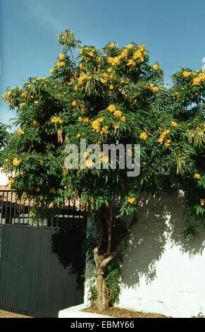 yellow trumpetbush, yellow bells,  yellow elder (Tecoma stans), blooming tree