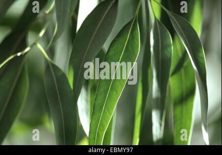 citron-scented gum (Eucalyptus citriodora), leaves - Stock Photo